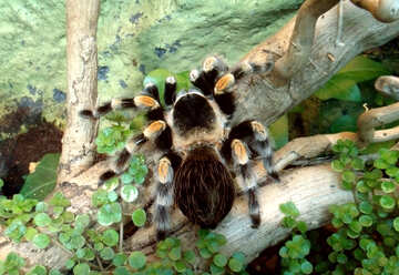 Spider tarantula  №10705