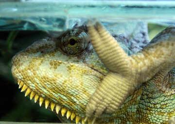 chameleon №10339