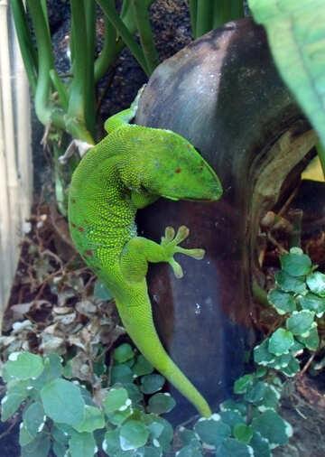 Gecko №10650