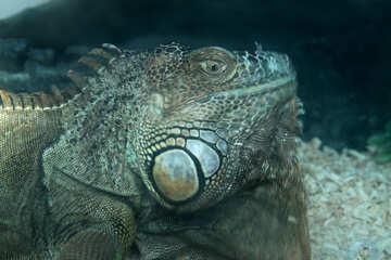 Head  Iguana №10233