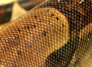 Pattern   skin  snakes. №10296