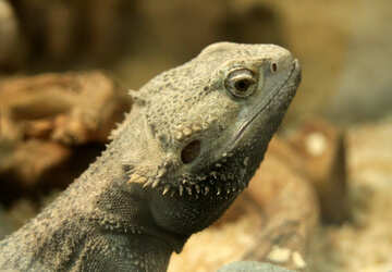 Bearded  agama №10145