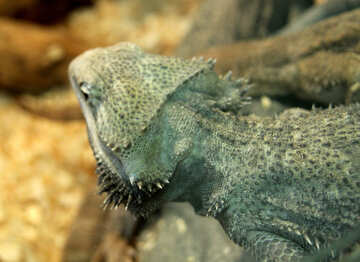 Bearded  agama №10182