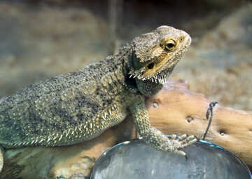 Bearded  agama №10273
