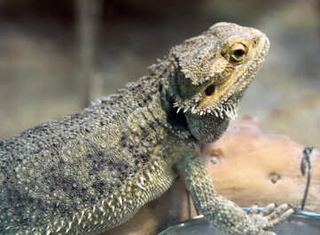 Bearded  agama №10381