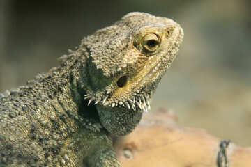 Bearded  agama.  Large.  Head. №10164