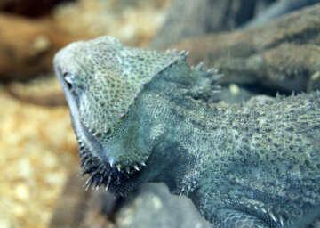 Lizard  agama.  Texture №10396