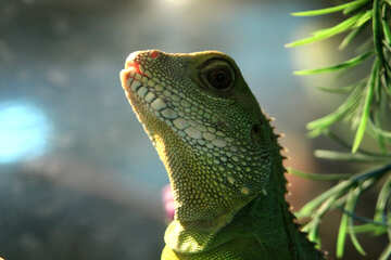 Water  agama №10217