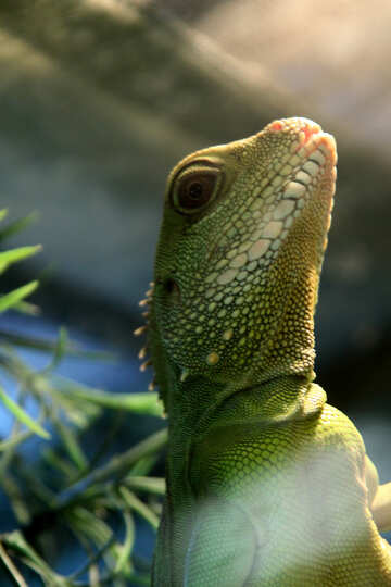 Water  agama №10345