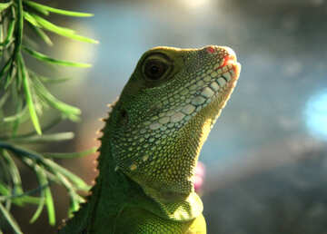 Water  lizard  agama №10186