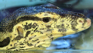 Head  lizard  №10350