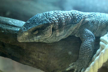 Lizard  №10419