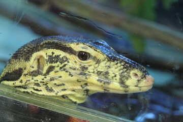 Varan  in  aquarium №10219