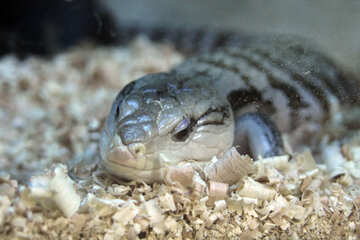 Skink  Blue-tongued №10253