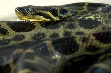 Anaconda №10189
