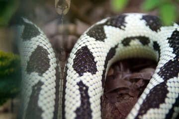 Schwarzes und  weiß  Schlange