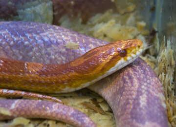 Corn snake №10335