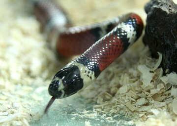 Poisonous  Snake   №10214