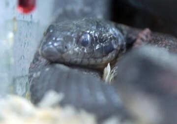 Royal  Snake   red-gray  №10153