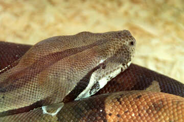 Muzzle  snakes №10342