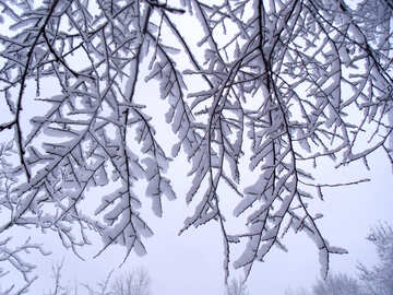 Snow  in the  branches