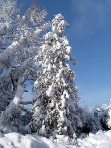 Large  Spruce   snow  №10531