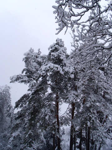 Pine  and  snow №10552
