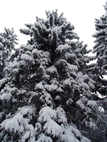 Tree  and    snow  №10514