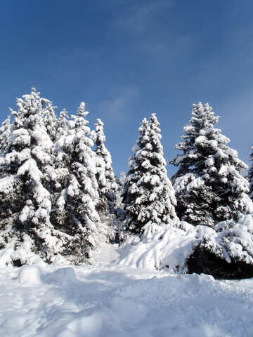 Tree  Snow  sun  №10576