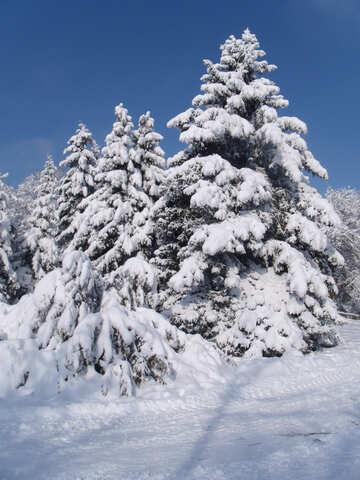 Snow  Trees  №10520