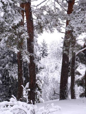 Trunks  pines   snow