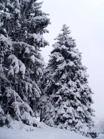 Spruce  winter    snow №10540