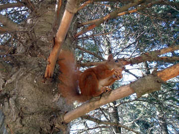 Eichhörnchen №10052