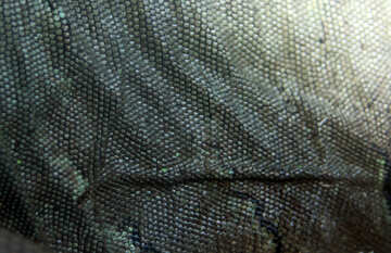 The texture.  Iguana.  Leather. №10172