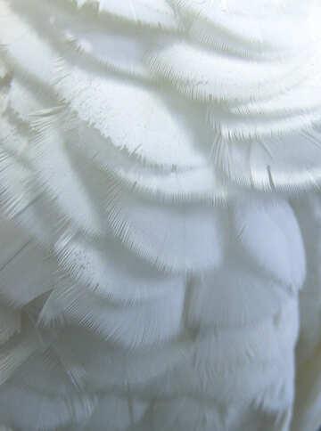 Texture  feathers.  Macro. №10805