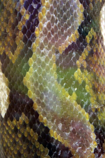 The texture.  Colorful  Snake  skin. №10262