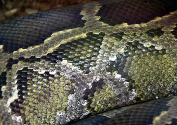 The texture.  Snake  skin. №10229