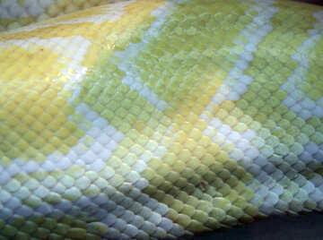 The texture.  Snake  skin.  Tiger  Python  albino  №10165