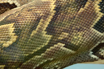The texture. Skin  Python  №10378