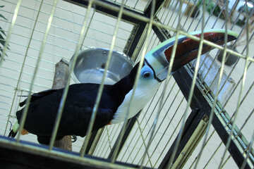 Asiatic black  Toucan  №10825