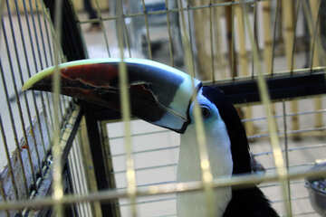 Toucan  in  cage №10838