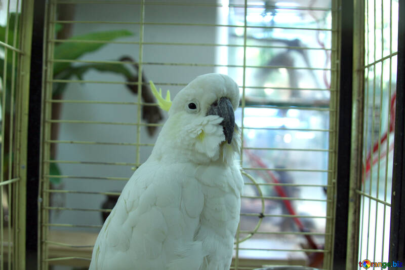 Cockatoo №10758