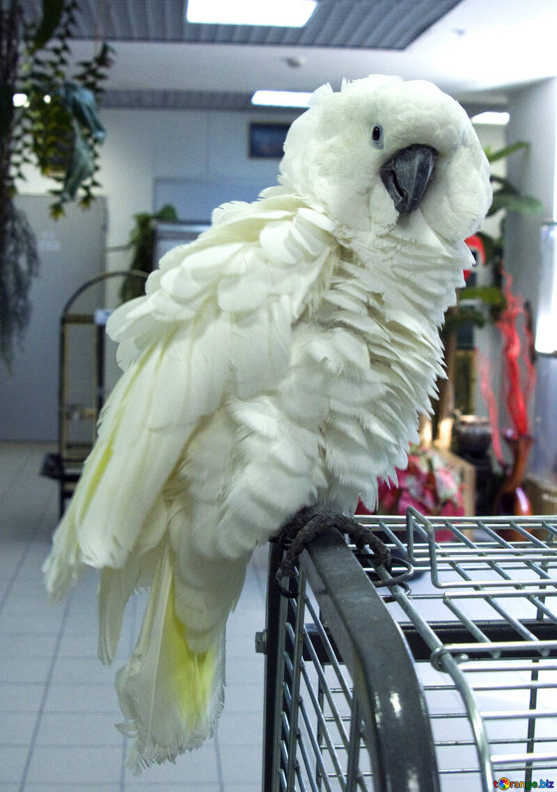 Cockatoo №10766