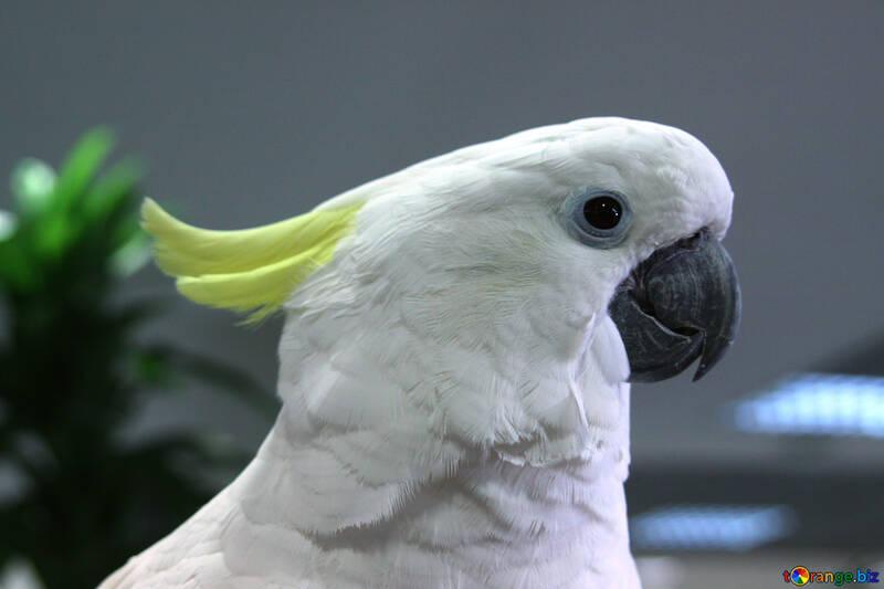 Cockatoo №10775