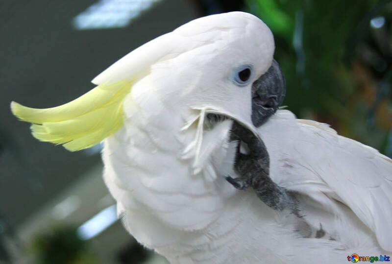 Cockatoo  №10823