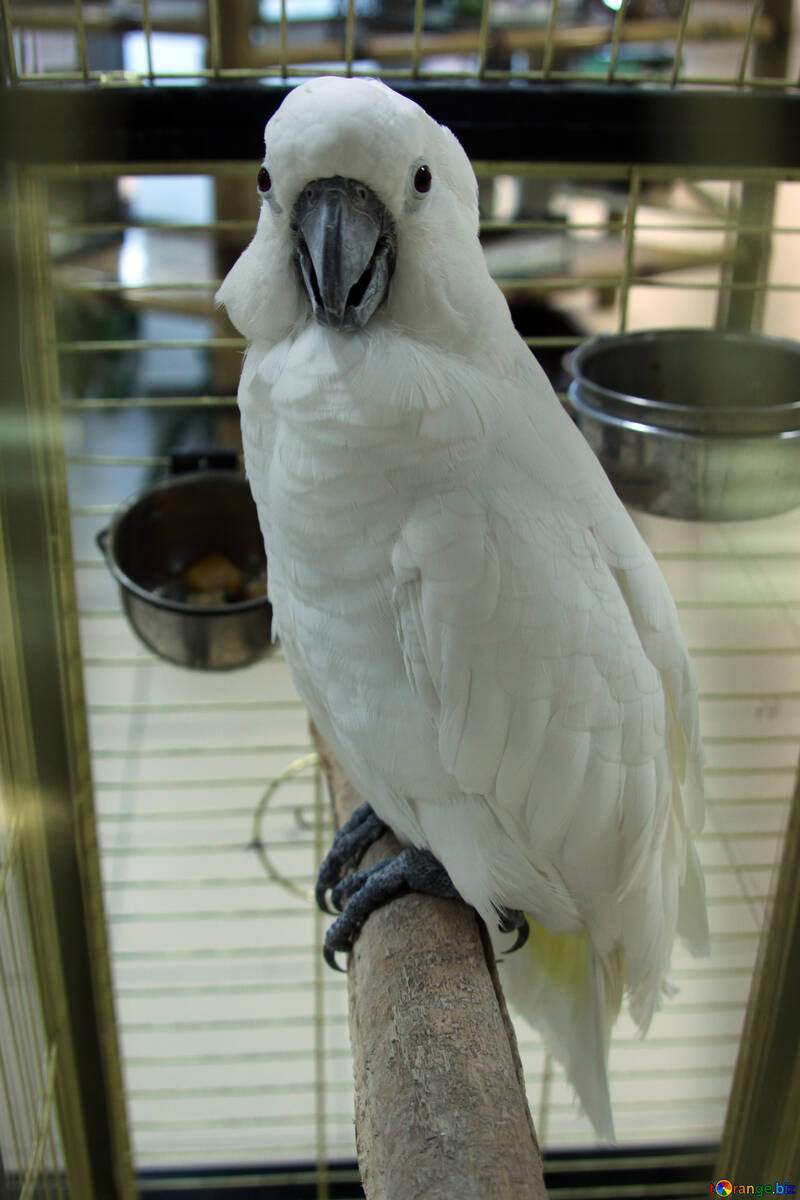 Surprised  Cockatoo №10797