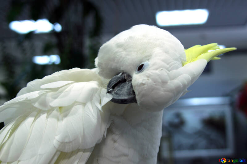 Cockatoo  clean  feathers №10762