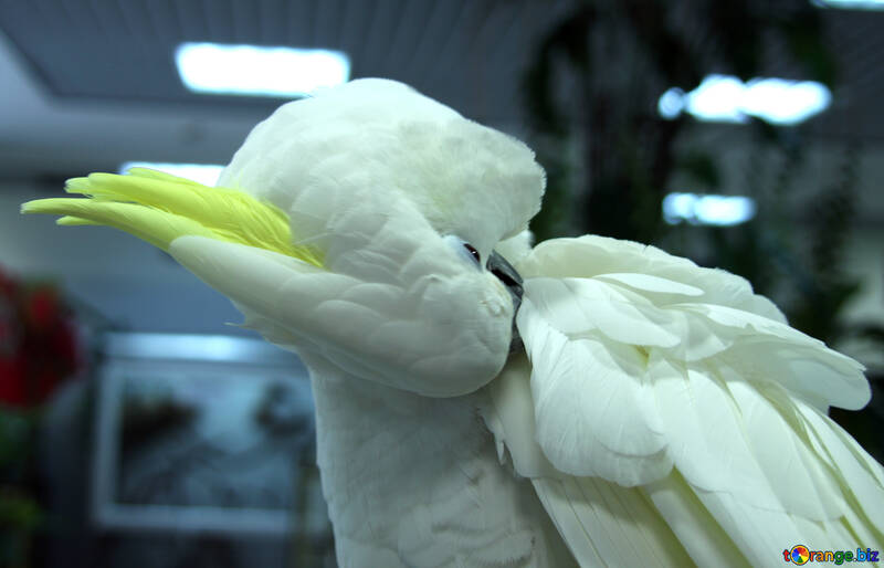 Cockatoo feathers clean №10755