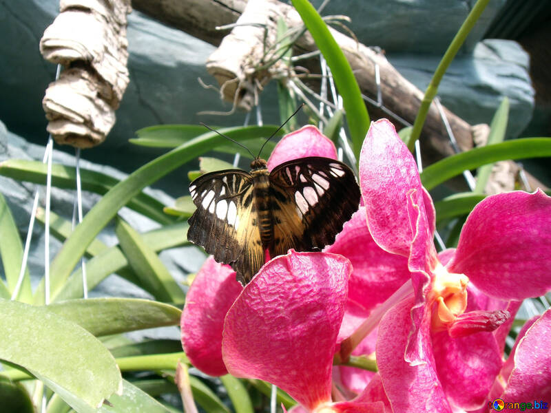 Butterfly on the orchid  №10678