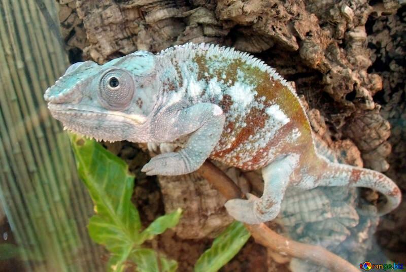 Chameleon  №10687